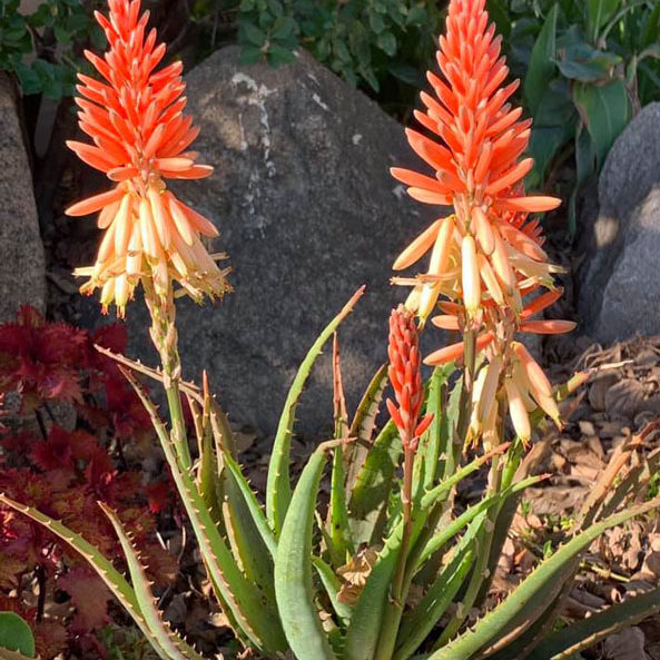aloe_bushwacker_feature_image
