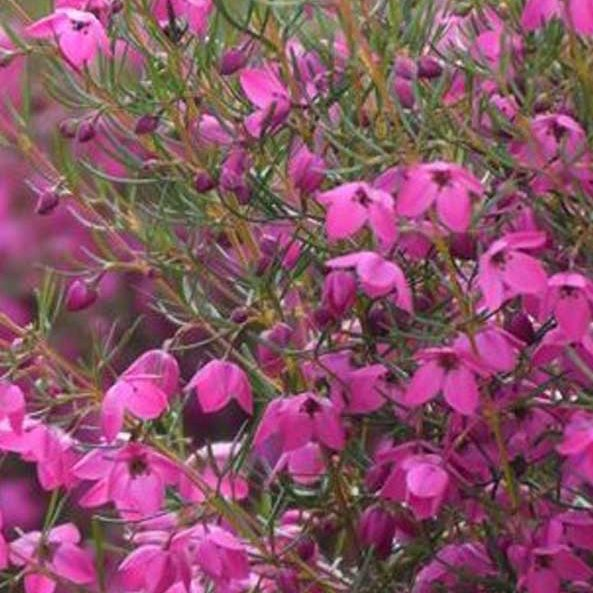 boronia_magenta_star_feature_image
