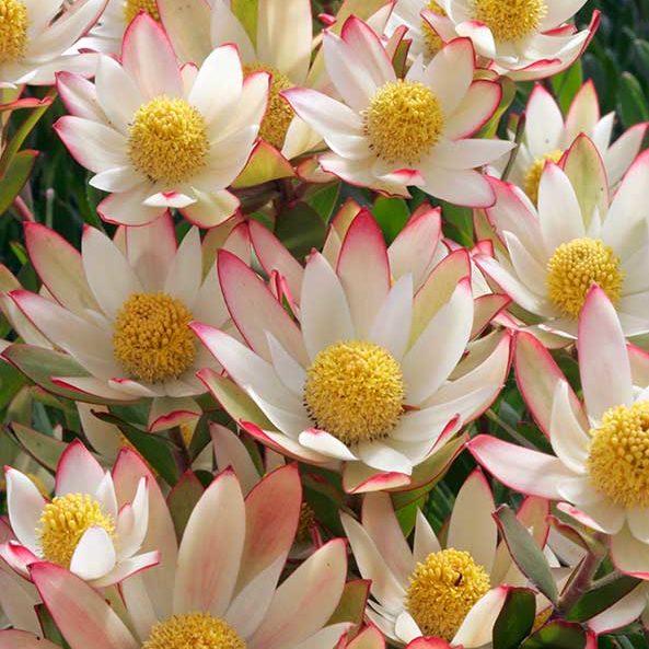 leucadendron_harvest_feature_image