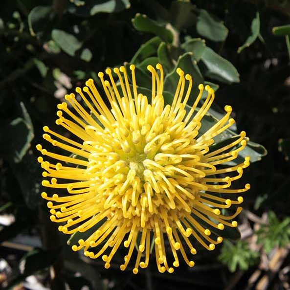 leucospermum_high_gold_feature_image