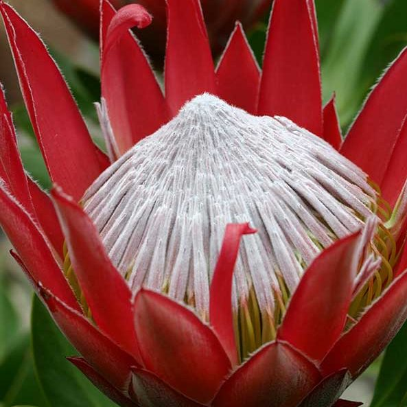 protea_little_prince_feature_image