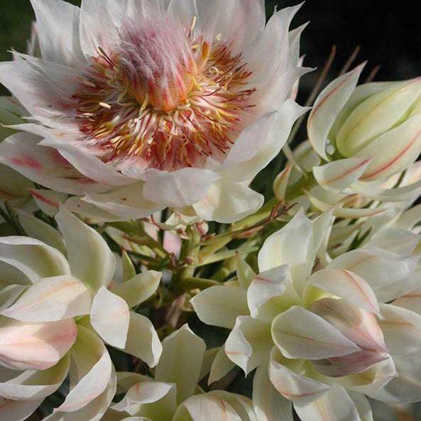 serruria_blushing-brides_feature_image